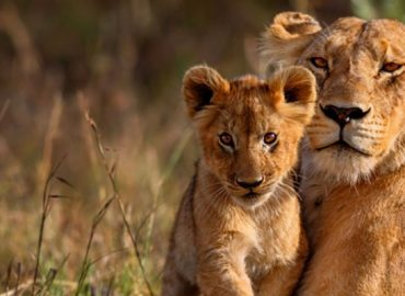 lioness-and-cub-at-andbeyond-matetsi-river-lodge-Kopie_4731_1301.6949152542_400_crop